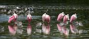 Roseate Spoonbills at Ding Darling NWR