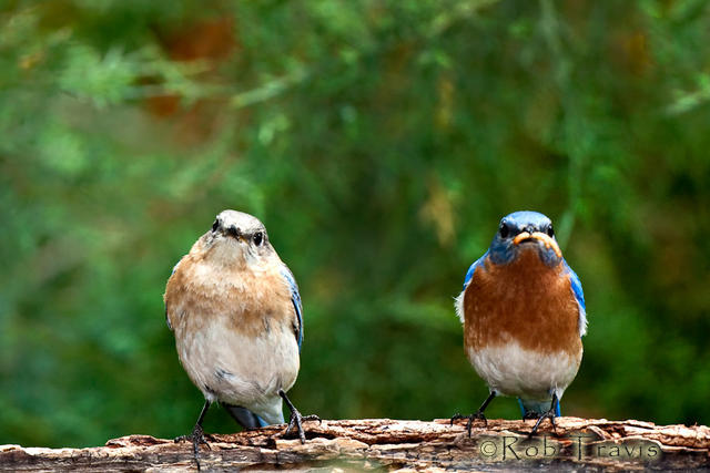 Mr and Mrs...(Bluebirds)