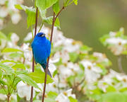 Indigo Bunting in Flowering Dogwood