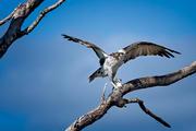 Osprey with Breakfast