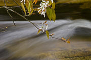 Serviceberry over Water
