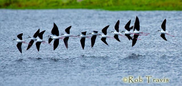 Black Necked Stilts in Flight (Pano format only)