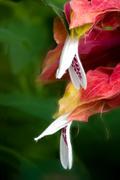 Shrimp Flower