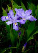 Dwarf Crested Irises