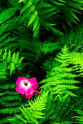 Wild Rose and Ferns