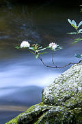 Rhododendron over Water