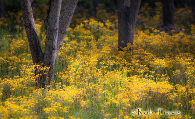 Yellow Flower Field