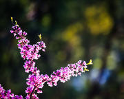 Redbud Branch in Morning Light