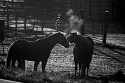 Backlit Horses lll