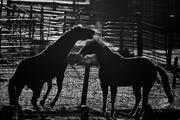 Backlit Horses lV