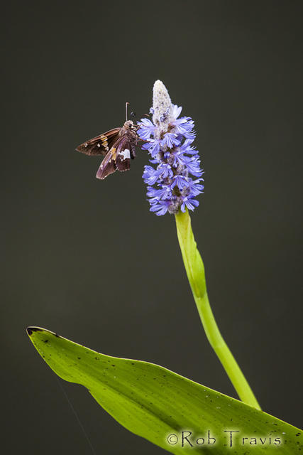 Pickerelweed...and Friend