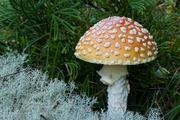 Mushroom - Fly Agaric
