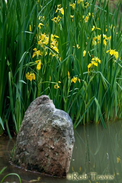 Water Iris and Rock