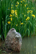 Water Iris and Rock