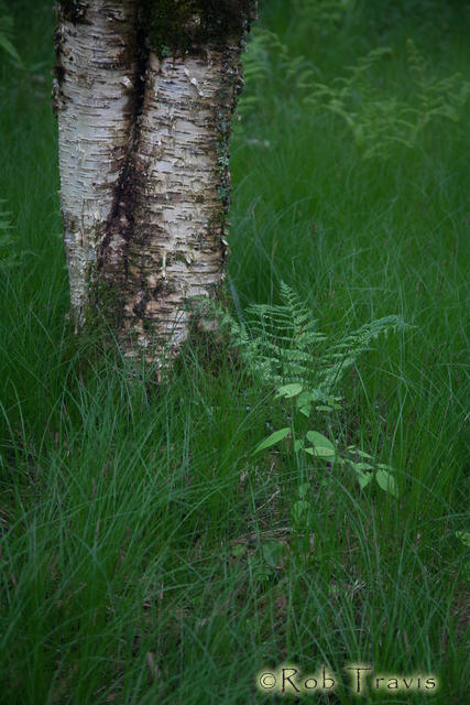 Yellow Birch and Fern