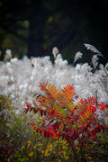 Sumac and White-Tufted Grasses