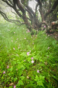 Rhododendron Petals on Wind-Swept Grasses