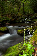 Bishops Cap in the Smokies - Wildflower photography
