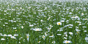 Daisy Carpet