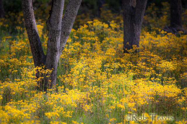 Dancing Trees in Yellow Flowers