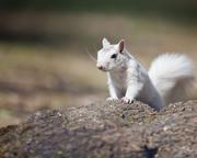 White Squirrel on Rock