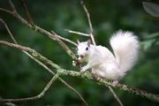 White Squirrel on Branch