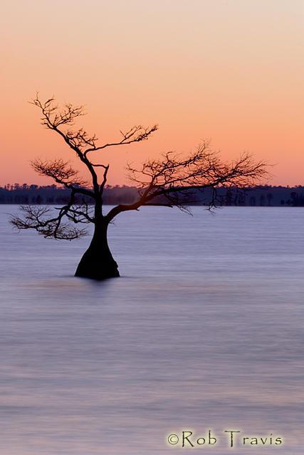 Cypress Tree, Lake Mattamuskeet, OBX