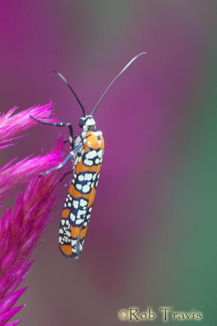 ailanthus web-worm moth