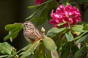 Songbird in Carolina Rhododendron bush