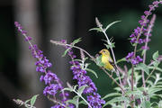 Male American Goldfinch in butterfly bush