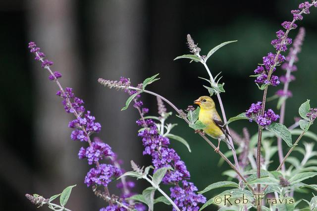 Male American Goldfinch in butterfly bush