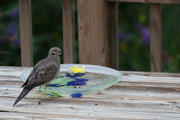 Mourning Dove on water bowl