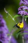 Male American Goldfinch on purple butterfly bush