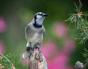 Bluejay on his perch
