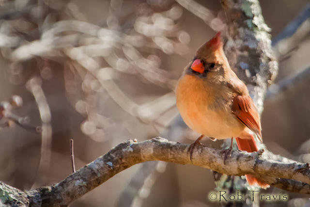 Cardinal in afternoon light