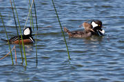 Hooded Merganser (Male and Female)