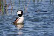 Solitary Hooded Merganser (Male)