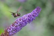 Hummingbird at Butterfly Bush