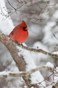 Male Cardinal on Snowy Branch (V)