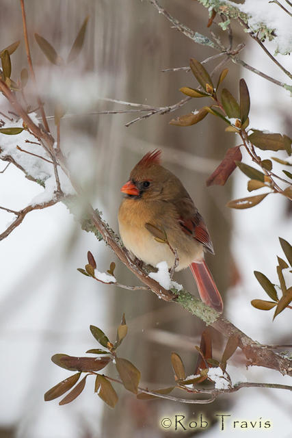 Female Cardinal on Snowy Branch