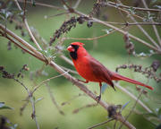 Male Cardinal on Branch