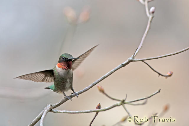 Ruby-Throated hummingbird lands on his perch