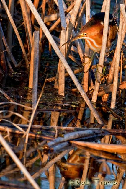 Least BIttern in Reeds
