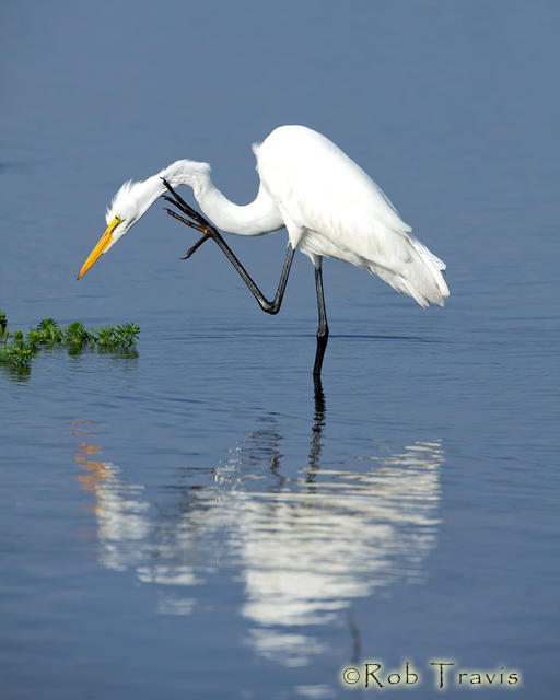 Great Egret, scratching