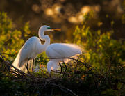 Great Egret Nesting Pair
