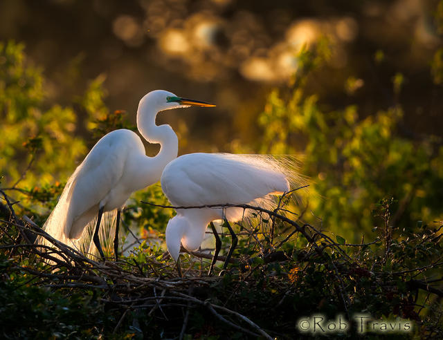 Great Egret Nesting Pair