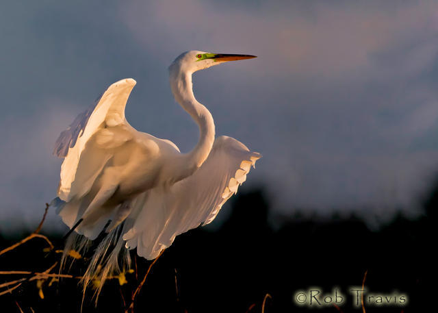 Great Egret Preparing for Flight