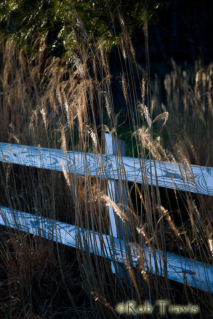 Golden Grasses and Fence