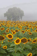 Sunflower Field, Vertical