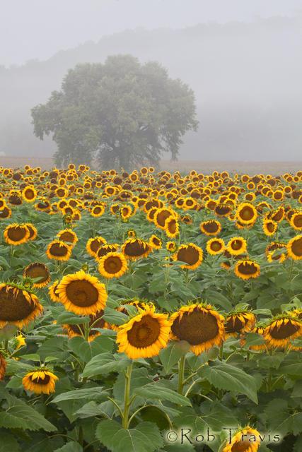 Sunflower Field, Vertical